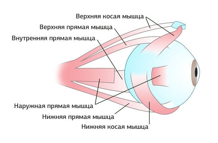 Наружные глазные мышцы