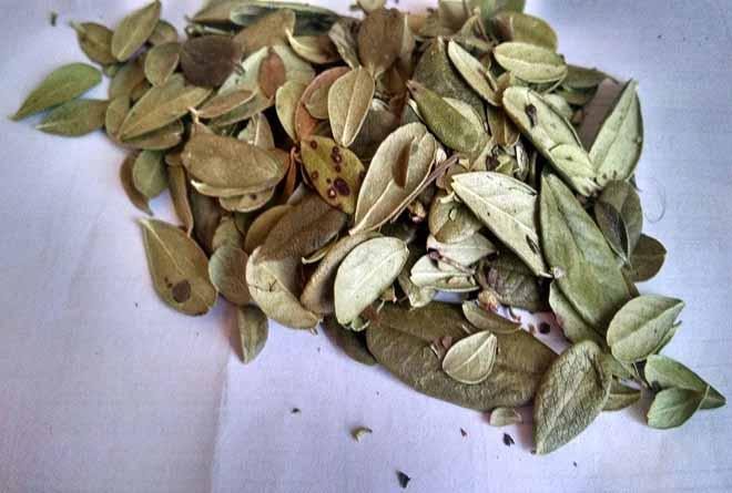 Брусничный лист: полезные свойства и применение