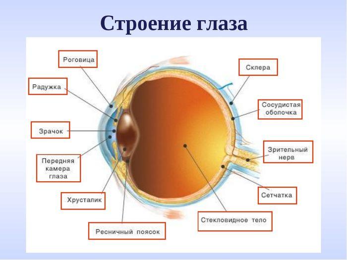 Строение глаза и его функции