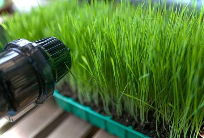 Применение ростков пшеницы