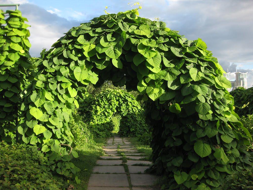 Кирказон - лечебные свойства, противопоказания и особенности выращивания растения