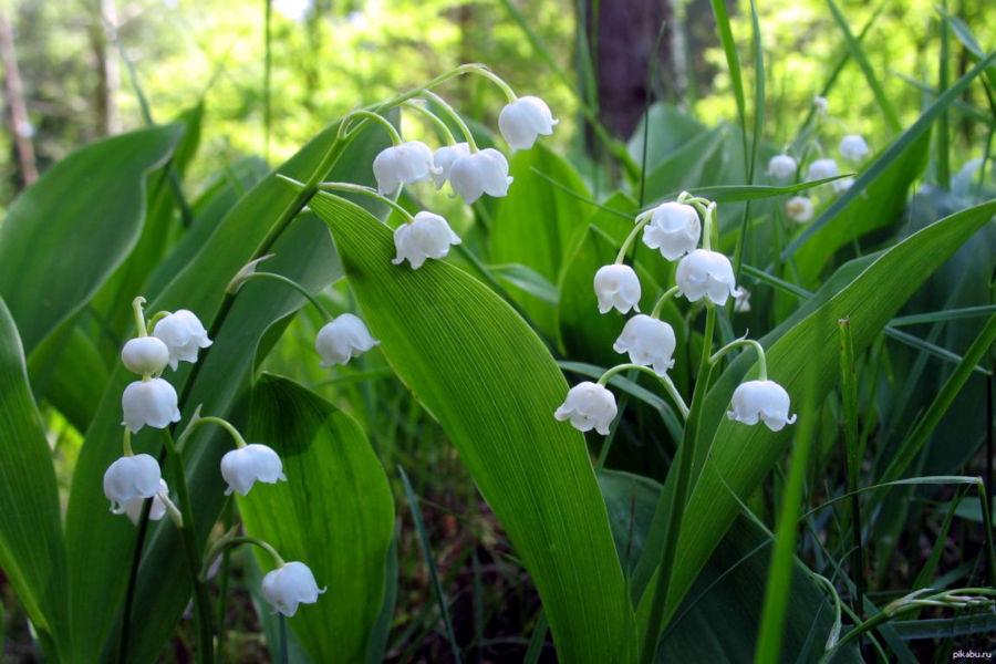 Ландыш майский - виды растения, применение в народной медицине