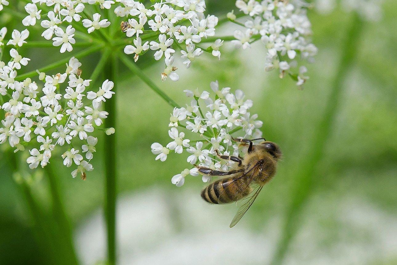 Сныть - польза, вред для здоровья и другие особенности растения