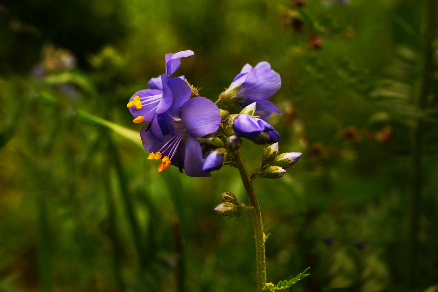 Синюха голубая - лечебные свойства и противопоказания