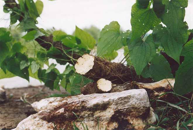 Адамов корень: описание, свойства, применение