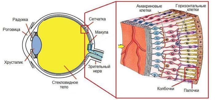 Строение сетчатки глаза