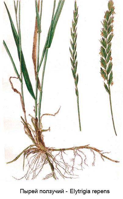 Пырей ползучий: химический состав, полезные свойства и область применения корней растения