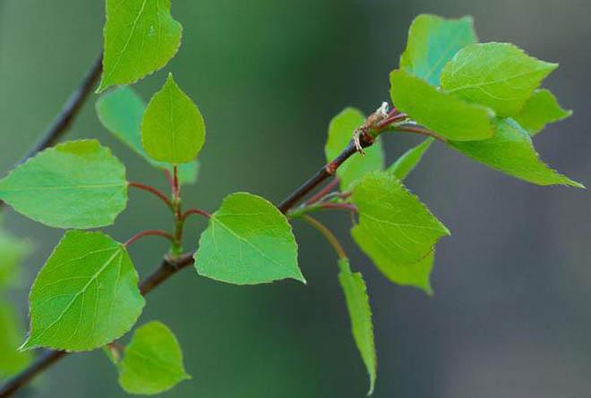 Осиновая кора: полезные свойства и применение