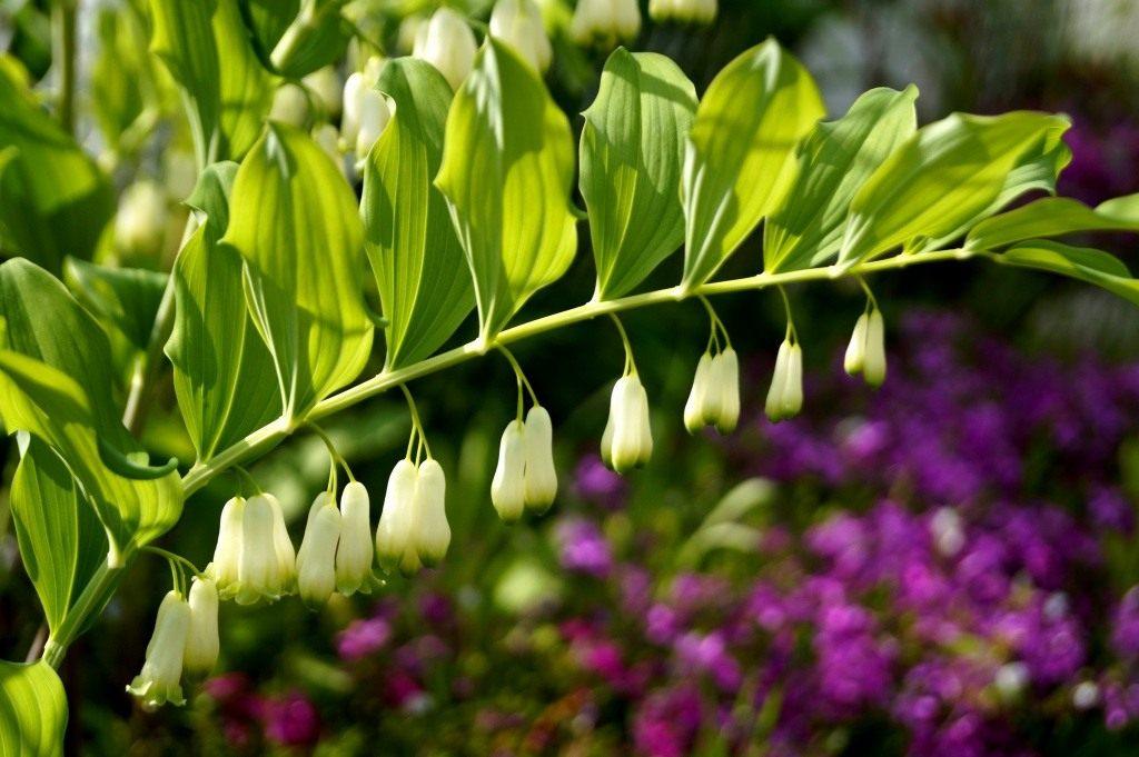 Купена - полезные свойства, противопоказания и особенности растения